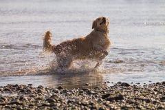 O cão do golden retriever aprecia na praia Fotos de Stock Royalty Free