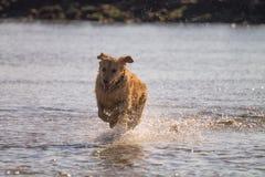 O cão do golden retriever aprecia na praia Imagem de Stock