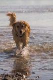 O cão do golden retriever aprecia na praia Fotografia de Stock Royalty Free