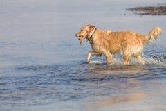 O cão do golden retriever aprecia na praia Fotos de Stock