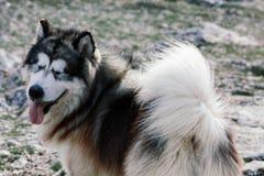 O cão do Malamute com olhos fechou-se Retrato de um malamute do c?o foto de stock