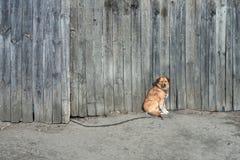 o cão do marrom da Não-pedigree senta-se na cerca de madeira Animal de Uncontented na corrente Fecne cinzento de madeira alto no  fotografia de stock royalty free