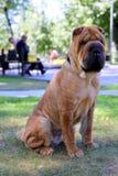 O cão do pei de Shar está sentando-se em uma grama em um parque foto de stock royalty free