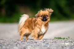 O cão do pequinês para uma caminhada fotos de stock