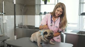 O cão do pug em um veterinário imagens de stock