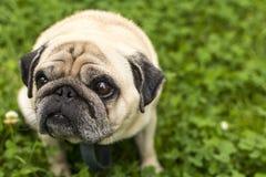O cão do Pug olha acima foto de stock