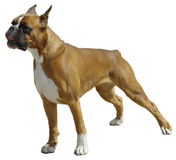 O cão do pugilista foto de stock