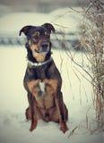 O cão do puro-sangue senta-se na neve Fotografia de Stock Royalty Free