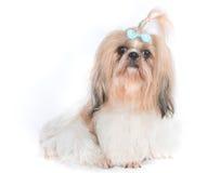 O cão do qui-tzu com fundo branco Imagens de Stock