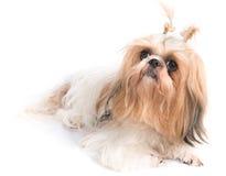 O cão do qui-tzu com fundo branco Imagem de Stock Royalty Free