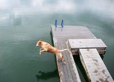 O cão do Retriever dourado salta fora da doca Fotos de Stock Royalty Free