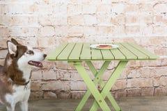 O cão do ` s da casca rouba uma parte de salsicha da tabela no segredo dos proprietários imagem de stock