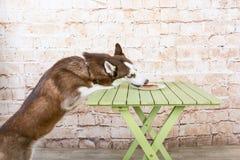 O cão do ` s da casca rouba uma parte de salsicha da tabela no segredo dos proprietários foto de stock royalty free