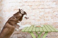 O cão do ` s da casca rouba uma parte de salsicha da tabela no segredo dos proprietários fotografia de stock royalty free
