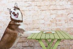 O cão do ` s da casca rouba uma parte de salsicha da tabela no segredo dos proprietários imagem de stock royalty free