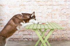 O cão do ` s da casca rouba uma parte de salsicha da tabela no segredo dos proprietários fotos de stock