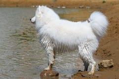 O cão do samoyed Fotos de Stock Royalty Free