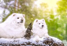 O cão do Samoyed encontra-se na árvore Fotografia de Stock