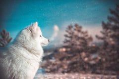 O cão do Samoyed encontra-se na árvore fotos de stock