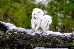 O cão do Samoyed encontra-se na árvore imagens de stock