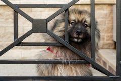 O cão do Spitz olha através das barras com os olhos espertos, tristes imagens de stock