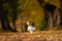 O cão do terrier de Jack russell está correndo em uma floresta da avenida foto de stock royalty free