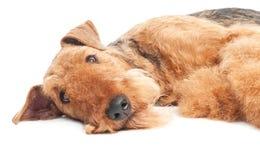 O cão do terrier do Airedale isolou-se Fotos de Stock
