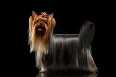 O cão do yorkshire terrier com cabelo preparado longo está no preto Imagens de Stock Royalty Free