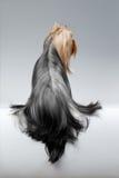 O cão do yorkshire terrier com cabelo preparado longo senta-se no branco Imagens de Stock Royalty Free
