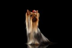 O cão do yorkshire terrier com cabelo preparado longo senta-se no preto Fotos de Stock Royalty Free