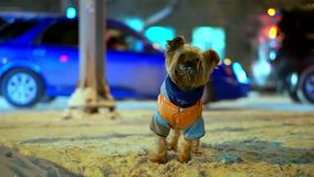 O cão do yorkshire terrier na laranja abaixo do revestimento obteve perdido em uma rua nevado da cidade na noite Os carros estão  video estoque