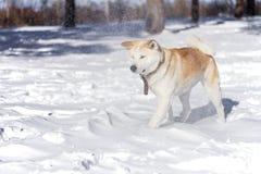 O cão doce de Akita Inu do japonês na neve na floresta durante uma tempestade de neve e os flocos de neve voam em sua cara foto de stock royalty free
