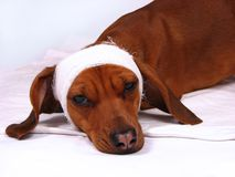 O cão doente Fotografia de Stock