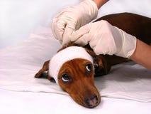 O cão doente esteja receoso Fotos de Stock Royalty Free