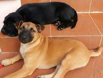 O cão dois pequeno bonito estava encontrando-se foto de stock royalty free