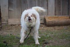 O cão doméstico mau descasca em correntes fotografia de stock