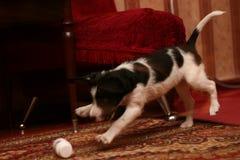 O cão doméstico pequeno fotos de stock