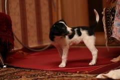O cão doméstico pequeno imagens de stock royalty free