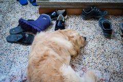 O cão dorme no assoalho Fotos de Stock