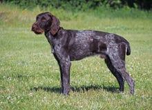O cão drahthaar Imagem de Stock