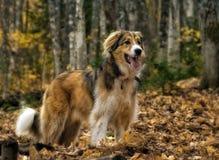 O cão e as folhas Imagens de Stock