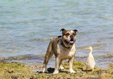 O cão e o pato Fotos de Stock Royalty Free