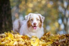 O cão encontra-se na folha caída do outono no parque para uma caminhada foto de stock