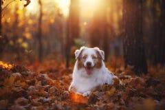 O cão encontra-se na folha caída do outono no parque para uma caminhada durante o por do sol imagens de stock royalty free