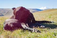 O cão encontra-se na grama Fotografia de Stock Royalty Free
