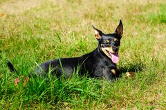 O cão encontra-se na grama O Pinscher diminuto Um mini Doberman foto de stock