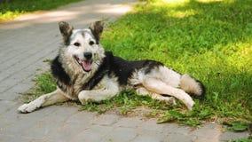 O cão encontra-se no parque no gramado em despejar a língua video estoque
