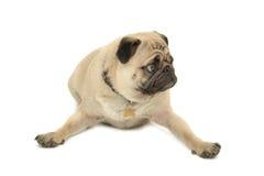 O cão engraçado do Pug está descansando foto de stock royalty free