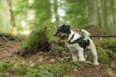 O cão engraçado pequeno de Jack Russell Terrier está sentando-se respeitosamente em uma floresta ensolarada imagens de stock