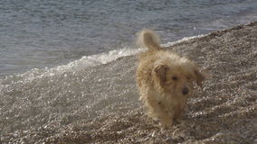 O cão engraçado que descasca nas ondas e que tenta morder a água espirra video estoque